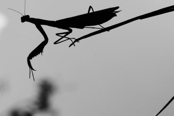 Mantis relixiosa-SERGIO GUNTÍN